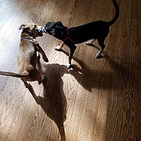 Adopt A Pet :: Rogue&Reagan - waterbury, CT