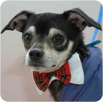 Chihuahua Dog for adoption in Westfield, New York - Mikado