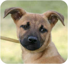Shepherd (Unknown Type)/Pit Bull Terrier Mix Puppy for adoption in Marion, Arkansas - Melody's Pups: Mallory