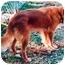 Photo 3 - Golden Retriever/Labrador Retriever Mix Dog for adoption in Tahlequah, Oklahoma - Chaz