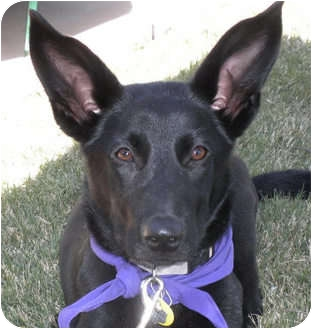 Shepherd (Unknown Type) Mix Dog for adoption in Weatherford, Texas - Shadow