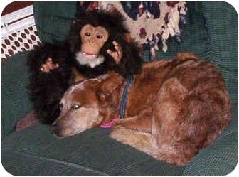 Australian Cattle Dog Dog for adoption in Lamar, Nebraska - Uluru