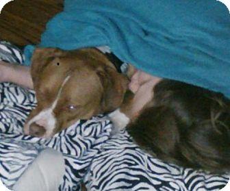 Pit Bull Terrier Mix Dog for adoption in Seattle, Washington - Nacho