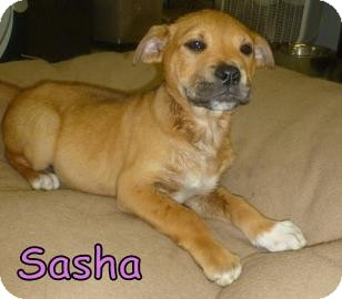 Chow Chow Mix Puppy for adoption in Georgetown, South Carolina - Sasha