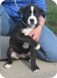 Boxer/St. Bernard Mix Dog for adoption in Newberry, South Carolina - Angel