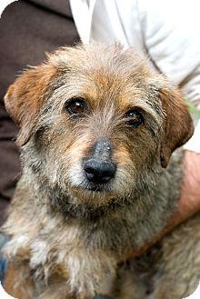 Schnauzer (Miniature)/Terrier (Unknown Type, Medium) Mix Dog for adoption in Greensboro, Georgia - Mabel