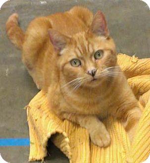 Domestic Shorthair Cat for adoption in Merrifield, Virginia - Sunny