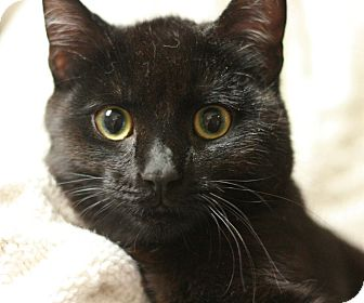 Domestic Shorthair Kitten for adoption in Canoga Park, California - Panther