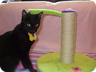 Domestic Shorthair Cat for adoption in Hampton, Virginia - Delilah