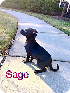 Boxer/Labrador Retriever Mix Puppy for adoption in knoxville, Tennessee - SAGE