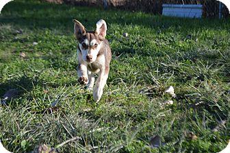Husky Mix Puppy for adoption in Texarkana, Arkansas - Jude