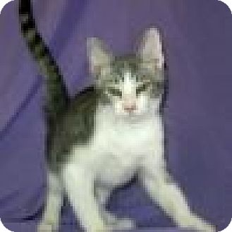 Domestic Shorthair Cat for adoption in Powell, Ohio - Simon