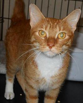Domestic Shorthair Cat for adoption in San Antonio, Texas - Casper