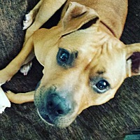 Pit Bull Terrier Mix Dog for adoption in Lake Charles, Louisiana - Amara