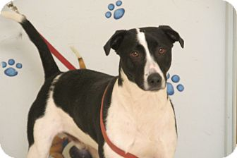 Border Collie Mix Dog for adoption in Reed City, Michigan - SNOOPY