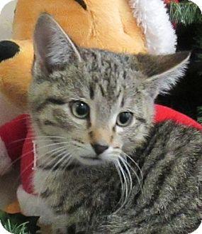Domestic Shorthair Kitten for adoption in Lloydminster, Alberta - Grinch