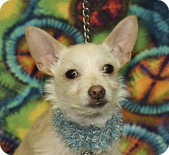 Chihuahua Mix Dog for adoption in Jackson, Michigan - Spike