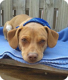 Chihuahua/Dachshund Mix Dog for adoption in Manhattan, Kansas - Opie