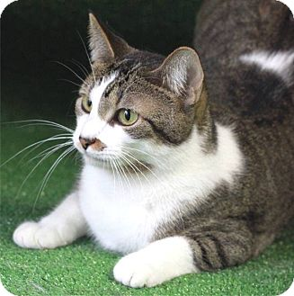 Domestic Mediumhair Cat for adoption in South Haven, Michigan - Trixie
