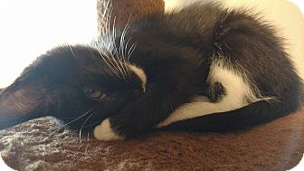 Domestic Shorthair Kitten for adoption in Homewood, Alabama - Buttercup