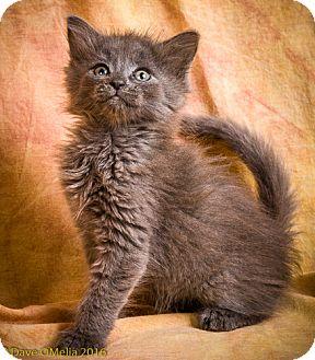Domestic Mediumhair Kitten for adoption in Anna, Illinois - EMMANUEL