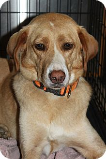 Labrador Retriever/Collie Mix Dog for adoption in Staunton, Virginia - Joan