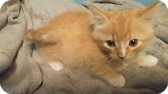 Domestic Mediumhair Kitten for adoption in Bryson City, North Carolina - Boo
