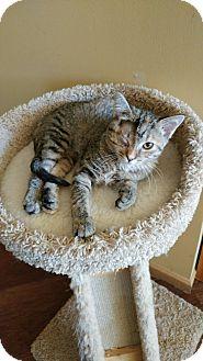 Domestic Shorthair Kitten for adoption in Chaska, Minnesota - Calypso