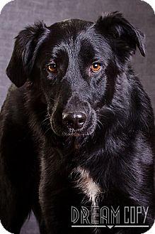 Labrador Retriever/Collie Mix Dog for adoption in Owensboro, Kentucky - Riddle