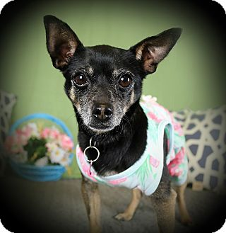 Miniature Pinscher/Chihuahua Mix Dog for adoption in Los Angeles, California - HARRIET (video)