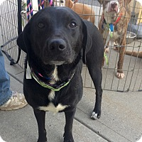 Adopt A Pet :: Midnight in Ct - Manchester, CT