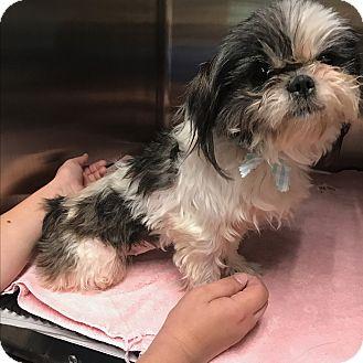 Shih Tzu Mix Dog for adoption in Portland, Oregon - Dorie