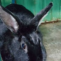 Adopt A Pet :: Jazzy - Pottsville, PA
