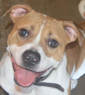 American Pit Bull Terrier Mix Dog for adoption in Prole, Iowa - Terra