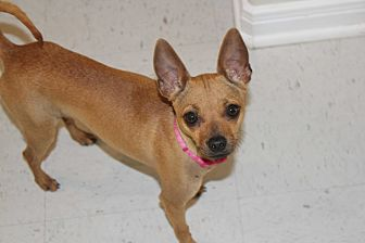 Chihuahua Mix Dog for adoption in Cuero, Texas - Jewel