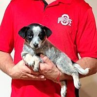 Adopt A Pet :: Peaches - South Euclid, OH