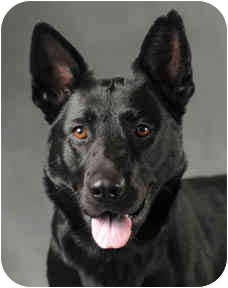 German Shepherd Dog Mix Dog for adoption in Chicago, Illinois - LaLa