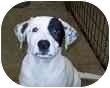 Pointer/Labrador Retriever Mix Puppy for adoption in Bunnell, Florida - Carson