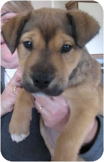 Shepherd (Unknown Type)/Labrador Retriever Mix Puppy for adoption in Poway, California - Magda