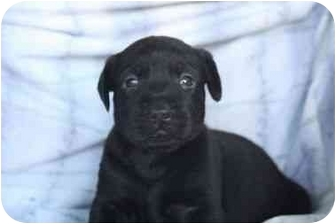 Labrador Retriever Mix Puppy for adoption in San Diego, California - Brie's Puppy - ONYX