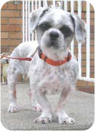 Shih Tzu Dog for adoption in Old Bridge, New Jersey - Felipe