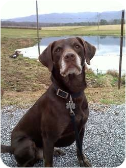 Labrador Retriever Dog for adoption in Lewisville, Indiana - Reese