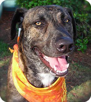 American Pit Bull Terrier/German Shepherd Dog Mix Dog for adoption in El Cajon, California - Molly