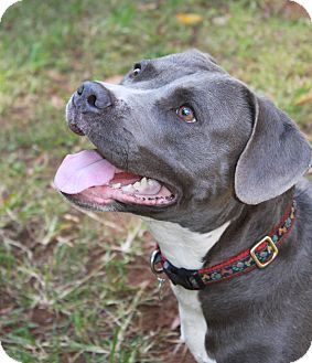 American Pit Bull Terrier Dog for adoption in Snellville, Georgia - Jean