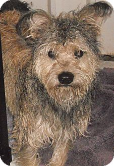 Schnauzer (Standard) Mix Dog for adoption in Aloha, Oregon - Schnauzer X