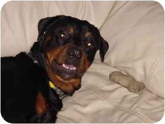Rottweiler Dog for adoption in Austin, Texas - Maverick