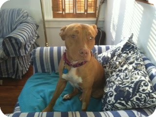 American Pit Bull Terrier Mix Dog for adoption in Dayton, Ohio - Chickpea