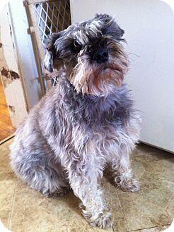 Schnauzer (Standard) Dog for adoption in New Baltimore, Michigan - Max