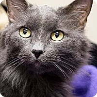 Adopt A Pet :: Lady Grey - Chicago, IL