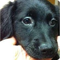 Adopt A Pet :: Stormi - Windham, NH